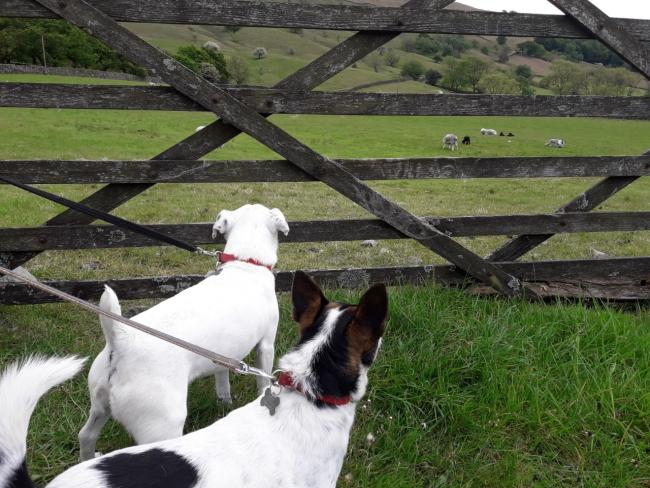 RESPONSIBLE: Dogs on their leads at Wasdale Head