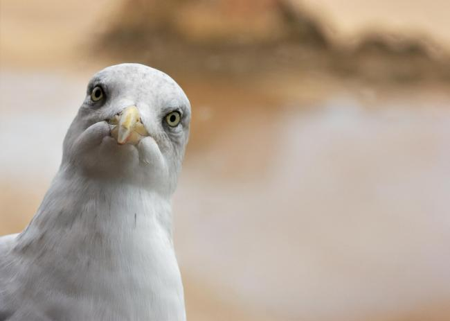 A seagull looking in through the window, interested in my pie and chips.