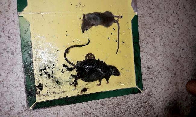 WEIRD UK NEWS: Dead rodents and droppings discovered inside ...