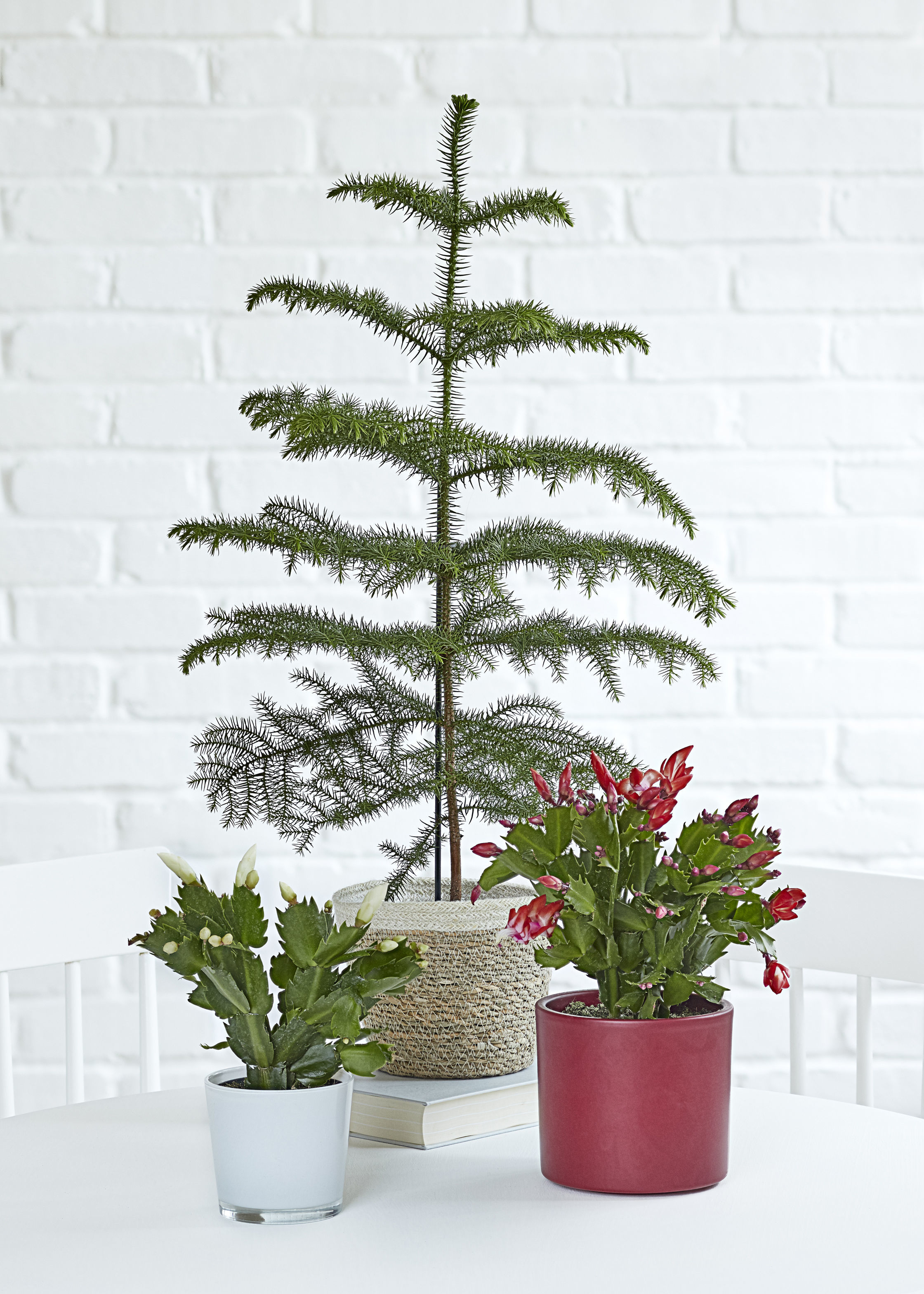 Here S How To Find A Christmas Tree You Can Replant Instead Of Throwing It Away The Mail