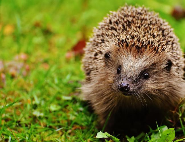 NEED YOUR HELP: Dry weather can be problematic for hedgehogs