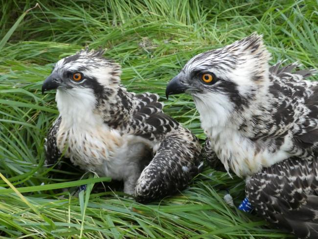CHICKS: Blue 410 and 411, in July © Cumbria Wildlife Trust.