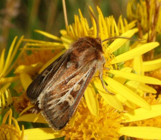 SPREADING: Moths play a vital pollination role (Picture by Rob Petley-Jones)