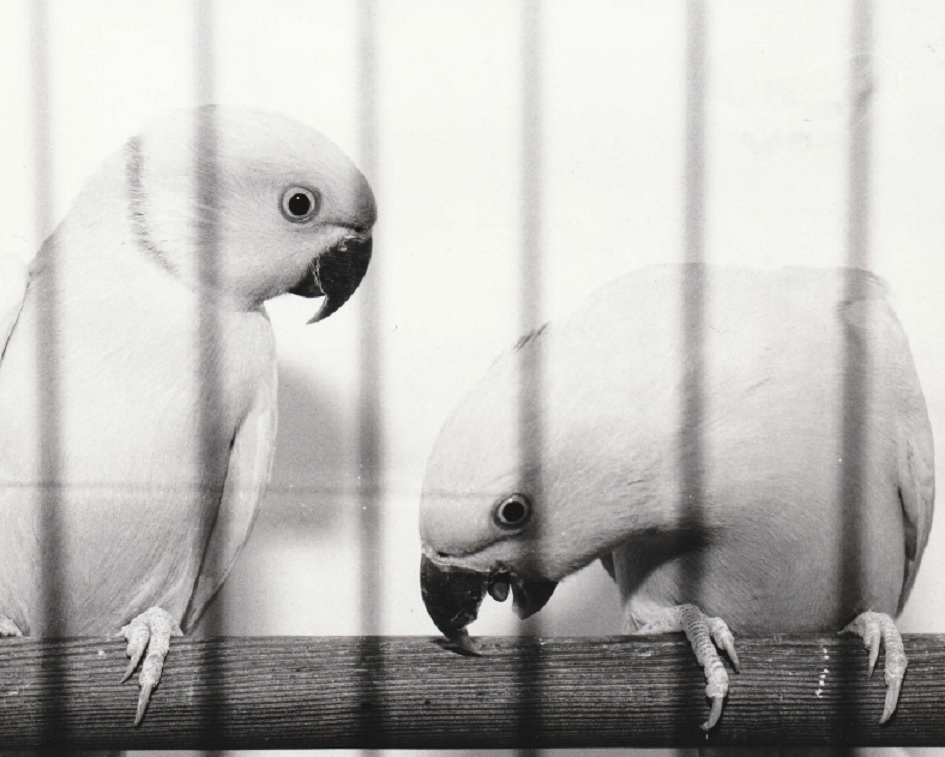 CAGE: A pair of yellow African ring necks which were judged to be the best parrots in the show in 1996