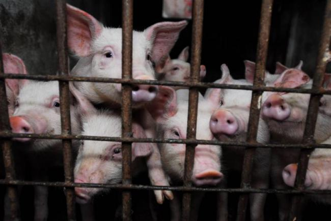 Issue: Farms not Factories campaigns against so-called pig factories, a similar set-up to the more well-known battery hens